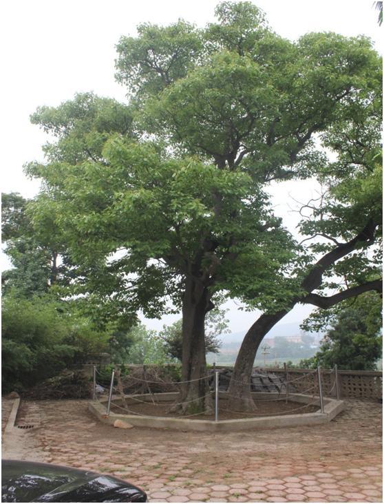 岚山区古树名木