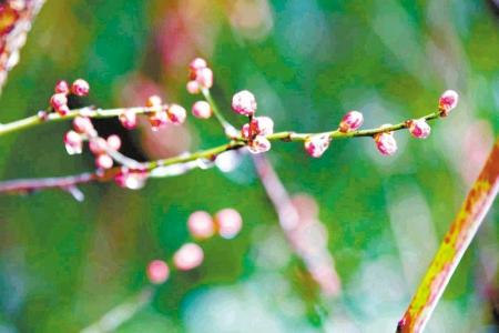 梅花迎雪报春